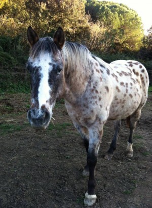 King Jay Dream, Appaloosa (10 ans)